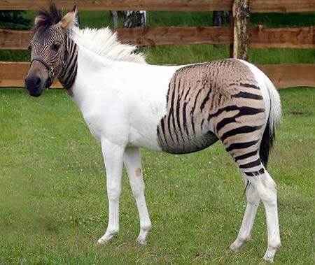 a96986_a607_15-zebroid