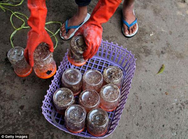 hormigas-indonesia