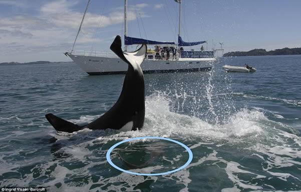 ballena-ataca-tiburon
