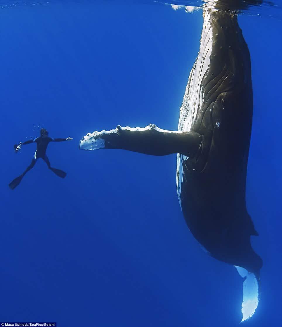 El momento en el que buceador y ballena parecen darse la mano.