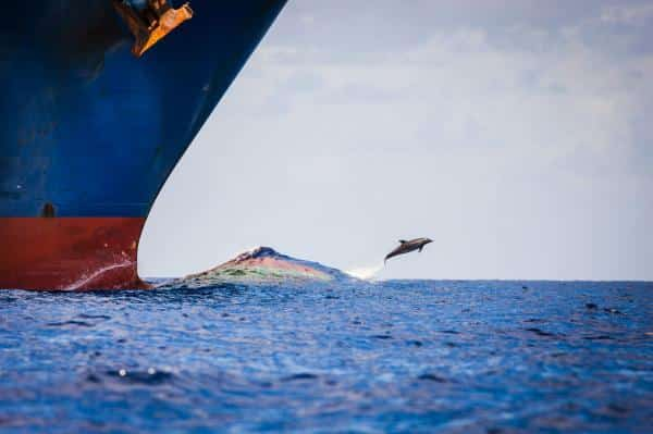 Un delfín salta en la estela de proa de un gran barco.