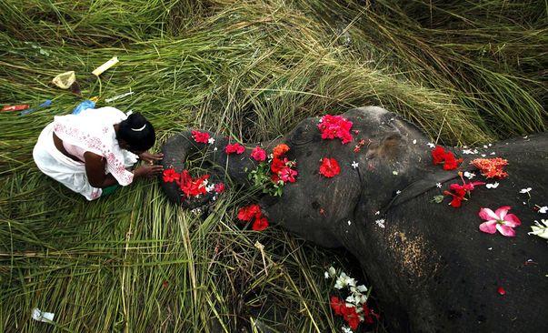Una aldeana india presenta sus respetos a un elefante muerto.