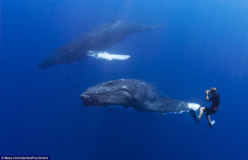 El fotógrafo Masa Ushioda, desde Tokio, Japón, se trasladó a Kona, Hawaii, y tomó las fotos del encuentro bajo el agua.