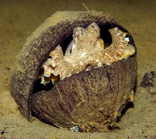 pulpo dentro de un coco