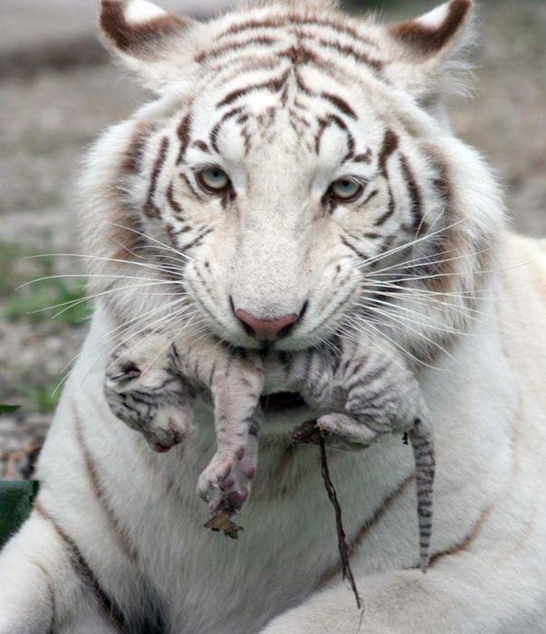 Tigre blanco con su cachorro recién nacido en la boca