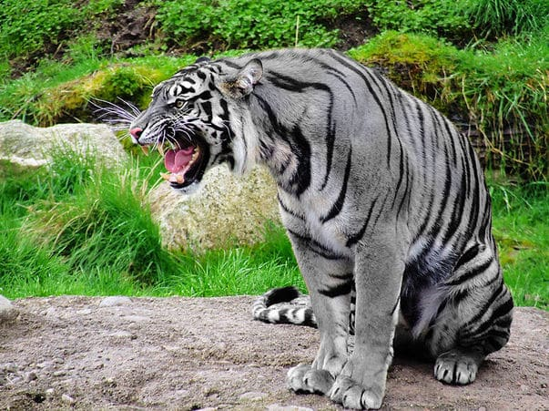 tigre de malta