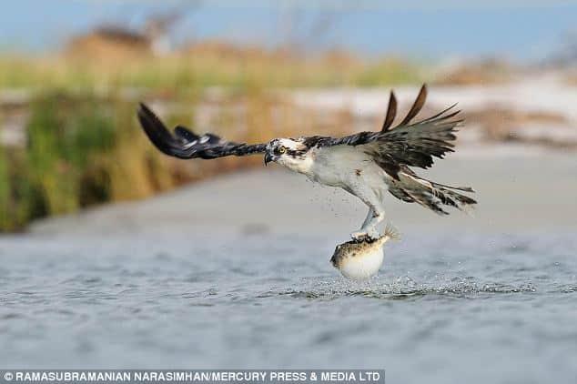 El momento bizarro en que un águila pescadora cogió (y soltó) un pez globo venenoso