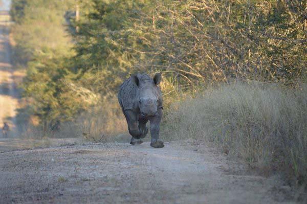 baby-rhino-saved4