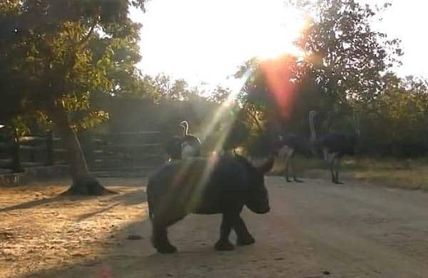 baby-rhino-saved5