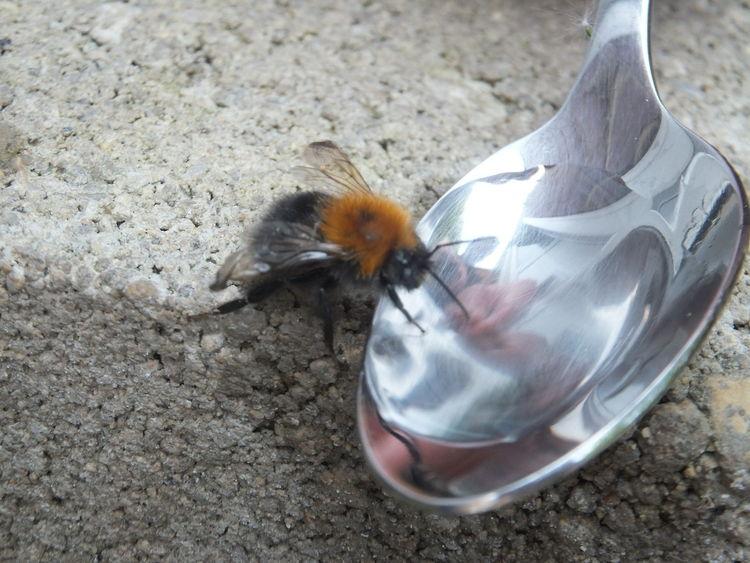 abeja bebiendo