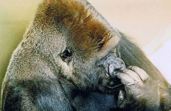 jambo gorila
