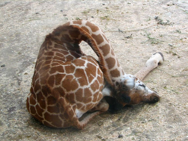 jirafa dormida