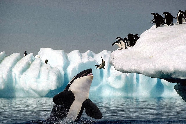 orca asesina