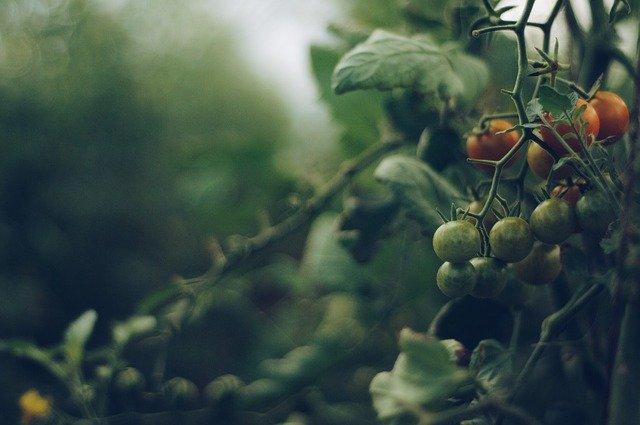 Historia sobre el tomate